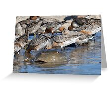 Red knot horseshoe crab Greeting Card