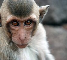 or Crab-eating Macaques, by anibubble
