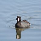 American Coot by Dave & Trena Puckett