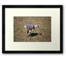 Baby Ostrich Framed Print