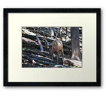 Elk front Framed Print