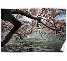 Cherry Blossom Branches Near the Potomac River: Blue-Pink-Aqua Poster