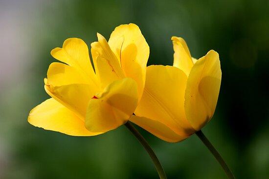 Two yellow tulips by annalisa bianchetti
