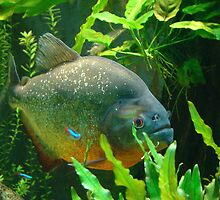 Piranha by Gotcha  Photography