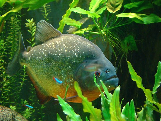Piranha by Gotcha  Photography
