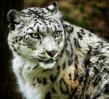 Snow Leopard by Sharon Morris