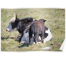 Mother & Baby Cow Poster