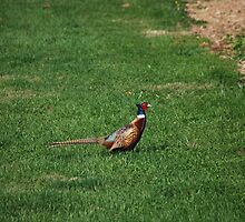 Pheasant in grass by sarahshanely