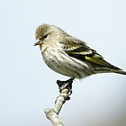 Pine Siskin by imarkimages