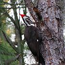 The Woodpecker by MichelleR
