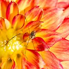 Daddy Long Legs  & Orange Dahlia Bon Bini by daphsam