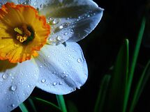 Daffy before night. by Eugenio