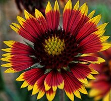 Indian Blanket Square by Judy Vincent