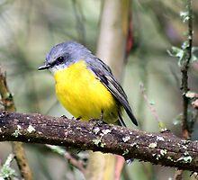 Eastern Yellow Robin by Jennie Liebich