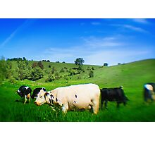 Cows in a Pasture Photographic Print