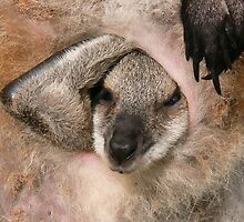 Red-necked wallaby (Macropus by anibubble