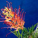 Grevillea Superb by Christopher Clarke
