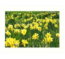 A Field Of Spring Daffodils Art Print