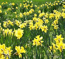 A Field Of Spring Daffodils by daphsam