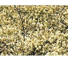 Amelanchier tree Photographic Print