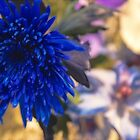 USA. Pennsylvania. Philadelphia Flower Show 2015. Blue Chrysanthemum. by vadim19