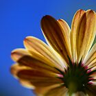 Daisy From Below by Keith G. Hawley