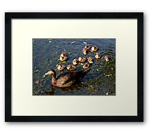 Muscovy mom and ducklings Framed Print