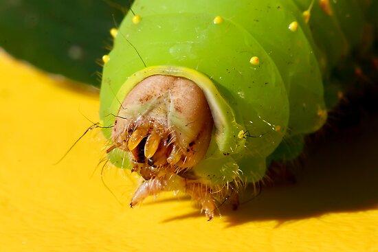 Giant Silk Moth Larva by Teresa Zieba