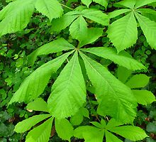 Aesculus hippocastanum tree   by Dawn OConnor