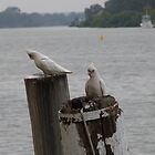 'CAREFULL, SOMEONE'S WATCHING US!' Lttle Corella's, Mannum River. by Rita Blom