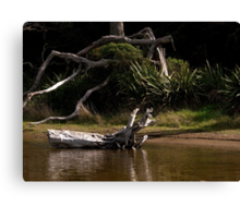 Dead Pohutukawa tree at the side of the stream........! Canvas Print