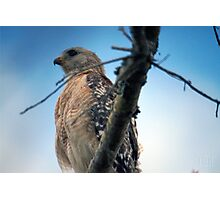 Majestic Red Shouldered Hawk Photographic Print