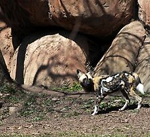AFRICAN WILD DOG by cdudak