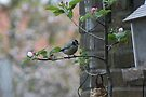 Blue Tit In Apple Tree. by davesphotographics