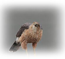 Sharp-Shinned Hawk by hummingbirds