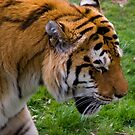 Amur Tiger by Vagelis Georgariou