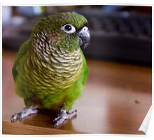 Maroon-Bellied Conure Poster