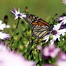 Monarch of the garden by Jan Stead JEMproductions