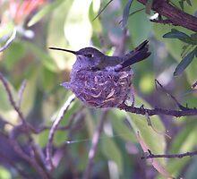 still hummingbird by Mardra