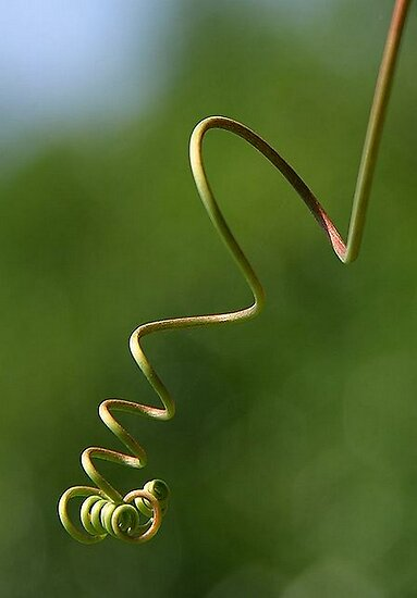 Spring Shaped Passion Flower Tendril by taiche