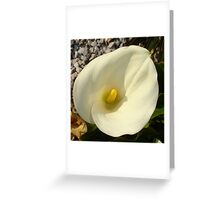 Single Cream White Calla Lily With Garden Background Greeting Card