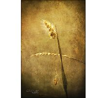 Sighing of Changes ... (Summer Grasses IV) Photographic Print