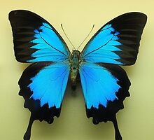 Ulysses butterfly by HowieP