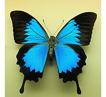 Ulysses butterfly Photographic Print