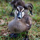 Baby duck by Alexander Meysztowicz-Howen