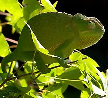 Chameleon on the maple tree  by Ben van den Berg