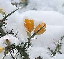 Common Gorse In The Snow by relayer51