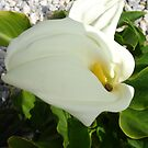 A Large Single White Calla Lily Flower by taiche