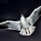 seagull in flight by Heike Nagel