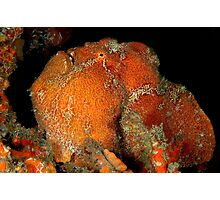 Giant Frogfish Photographic Print